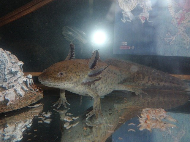 axolotl v akváriu