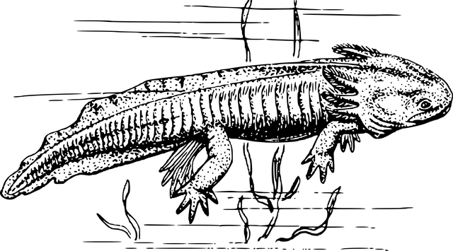 axolotl kresba